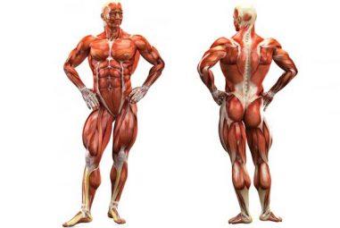 ¿Cómo son los músculos?